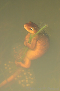 California Newt Laying Egg