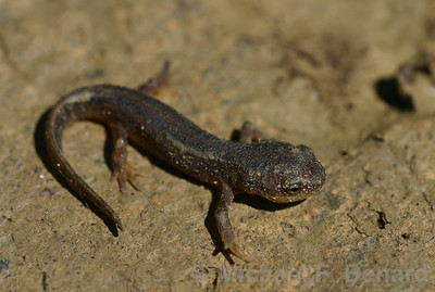 Recently metamorphosed California Newt