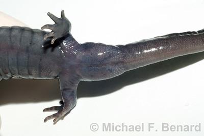 Male Spotted Salamander Cloaca