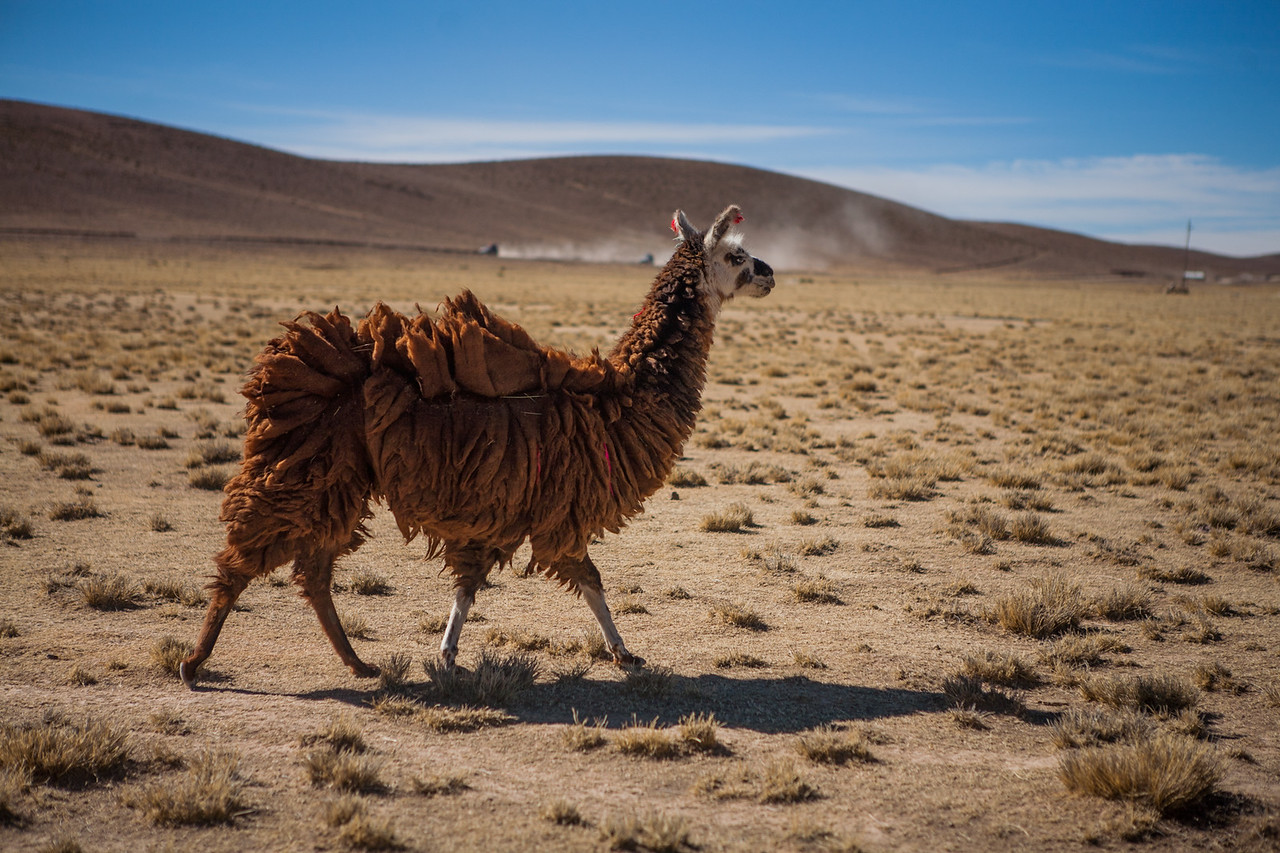 Llamas on altiplano, Bolivia