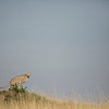 Squatting cheetah, Masai Mara