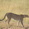 Cheetah walking, Masai Mara