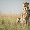 Sitting cheetah, Masai Mara