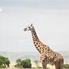 Large male Reticulated Giraffe in the Masai Mara
