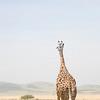 Reticulated Giraffe, rear view