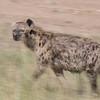 Hyena running in the Masai Mara