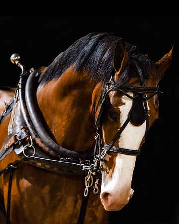 checked horsehead