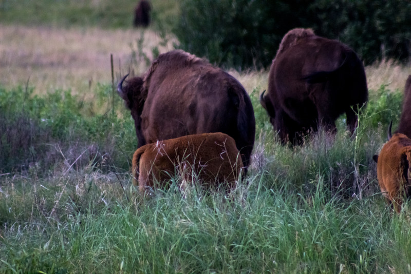My Little Buffalo Family