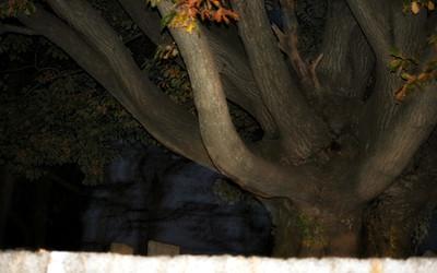 Spooky Tree in Salem Cemetery