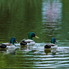 3 Mallards Swimming