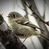 Adler Flycatcher