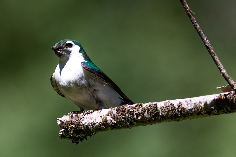 Wallowa Lake-Violet Green Swallow-7270