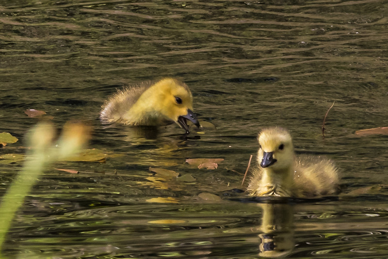 Goslings Swimming