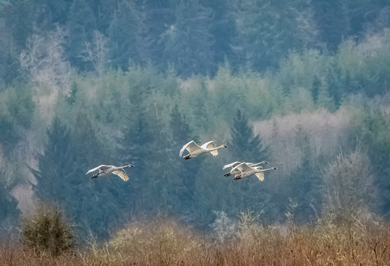 White Swans Flying-2215