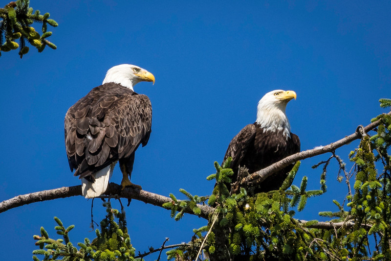 American Bald Eagle Pair