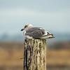 Setting Seagull
