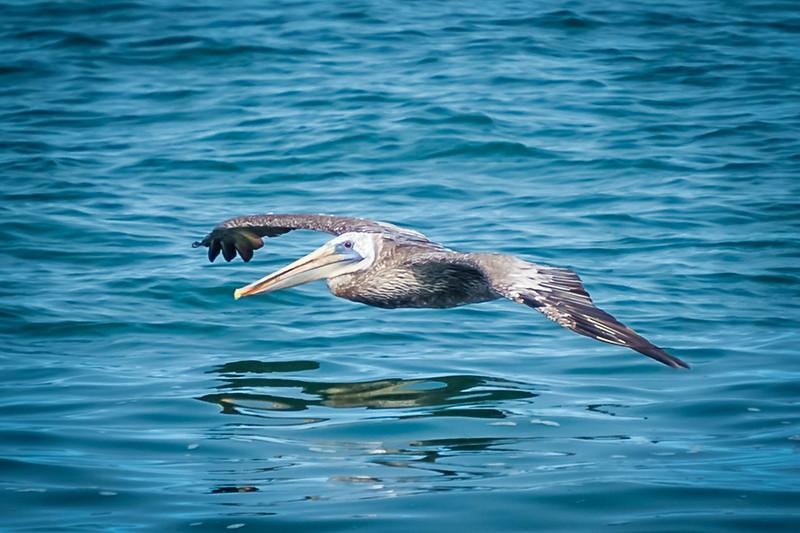 Pelican Gliding
