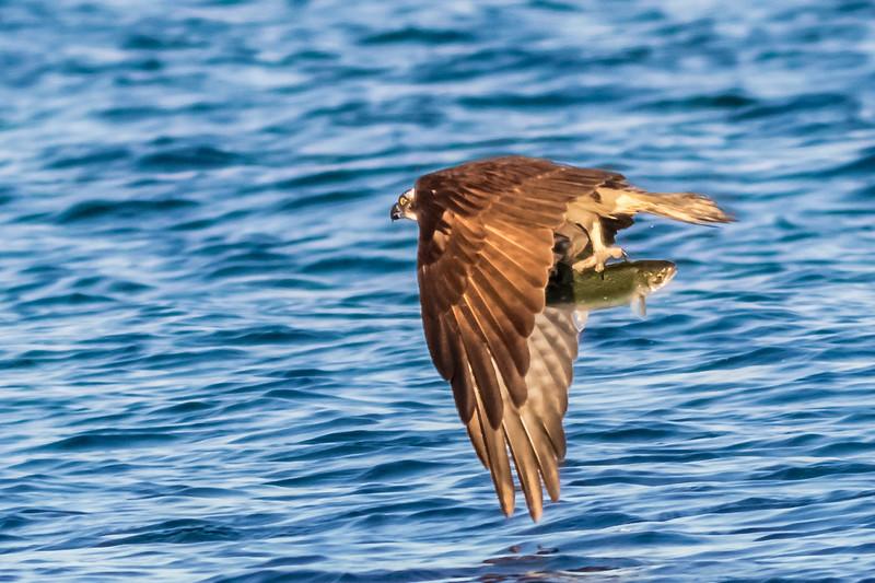 Osprey's Catch