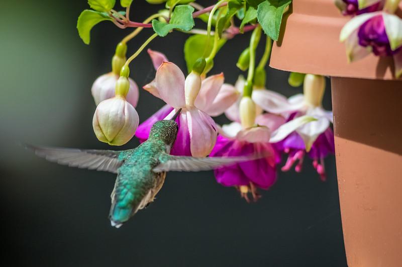 Horizontal Hummingbird