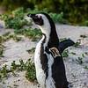 African jackass penguin 3