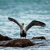 Brown Pelican 6