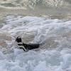 African jackass penguin 5