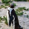 African jackass penguin 4