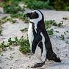 African jackass penguin 2