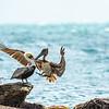 Brown Pelicans 5