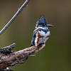 Belted kingfisher 9