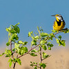 Eastern Meadowlark 8