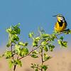 Eastern Meadowlark 8
