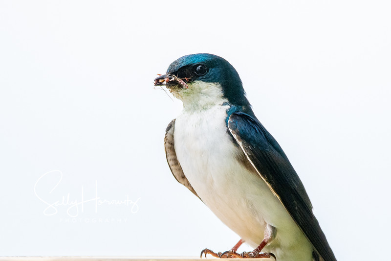 Tree swallow 8