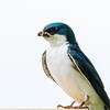 Tree swallow 8