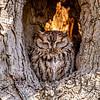 Eastern screech owl 8