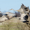 Sandhill Cranes 10