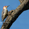 Red Bellied Woodpecker 1