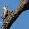 Red Bellied Woodpecker 1