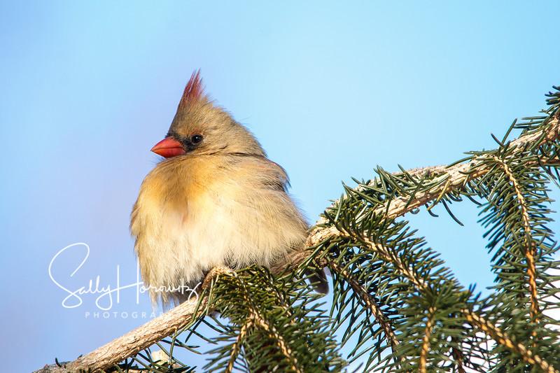 Northern Cardinal female 1