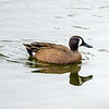 Blue winged teal male 2