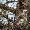 Cooper's hawk nestling