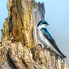 Tree swallow 6