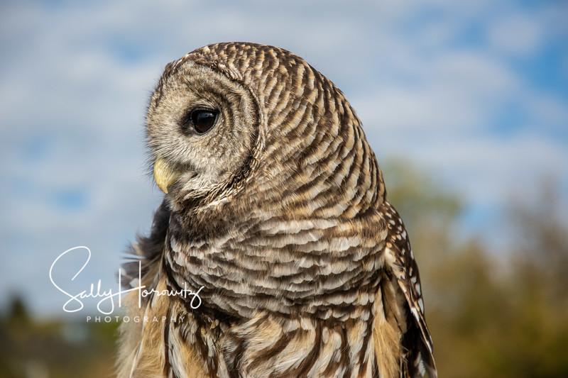 Barred Owl 8