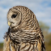 Barred Owl 8