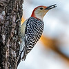 Red bellied woodpecker 6