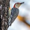 Red bellied woodpecker 6