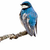 Tree Swallow 11