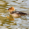 Female Hooded Merganser 7