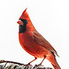 Northern Cardinal male 17