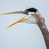 Great blue heron 16